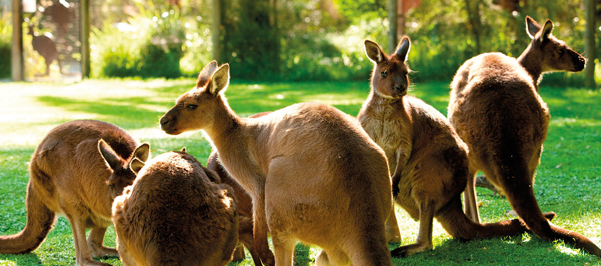 Healesville Wildlife Sanctuary Kangaroos