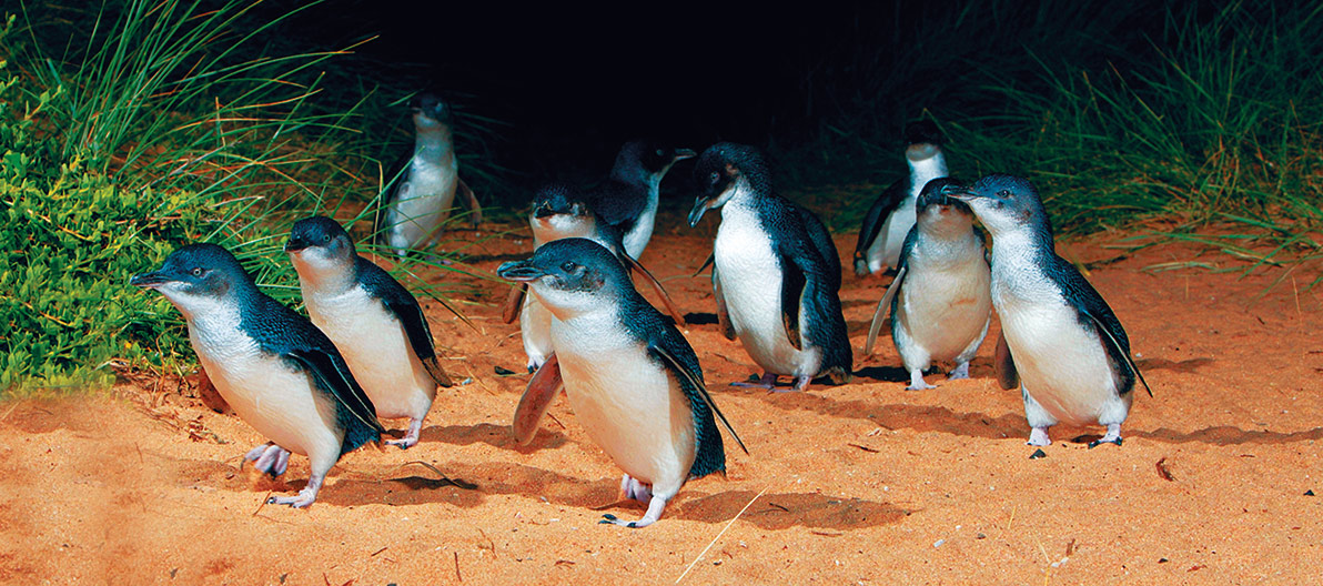 Penguin Parade at night