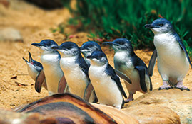 phillip island penguins 269x175